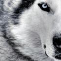 Husky_Love